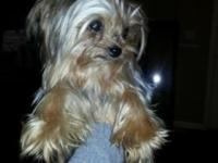 Hello we are Rehoming our designer teacup yorkie, Lola.