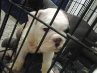 english bulldog puppy needs a good home.