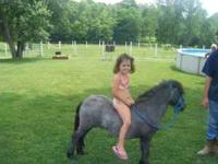 3 year old gelding pony,make a good cart pony, 32inches