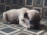 RICO: $3300, AKC French Bulldog, Male, Blue Fawn, born