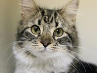 39481056's story A large juvenile female Maine Coon