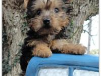 We have a little boy Yorkie that we are calling 3/4