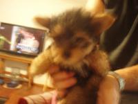3 AKC teacup yorkie young puppies (one male and 2