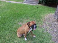 I have three male boxer puppies 4 sale born July 13,