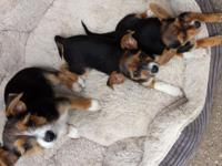 Affectionate and vivacious Chorkie puppies, born April