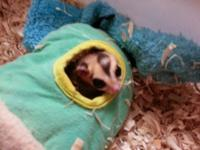 3 sugar gliders for sale asking 225 theres two males