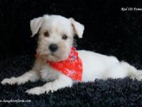 7 sweet and adorable Miniature Schnauzer puppies are