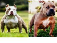 3x Dax female for sale ABKC reg. Almost coming into