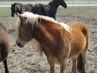 Very nice haflinger gelding.Very gentle and easy to get