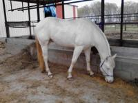 Pecos is a 3yr old quarter horse gelding. He is pure