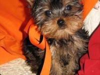 3 year old fixed, 6 lb female yorkie for sale. Crate