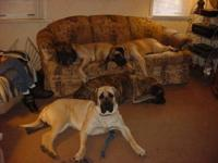 I have 4 Male Akc Old English Mastiff Puppies. All are