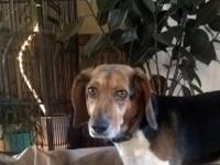 We have a new rescue female beagle that came to our