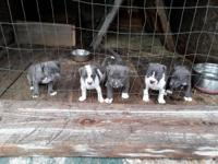 Pure blue nose american pitbull puppies Born on 4/20/18