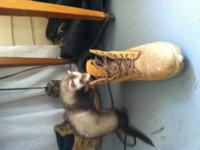 I am currently rehoming my 4-5 month old male ferret,