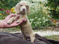 Beautiful Champion lined AKC Mini-Dachshund Puppies.
