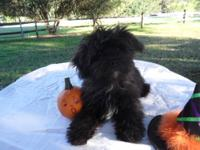 Four Yorki Poo puppies born on Nov. 27, 2013. There are