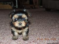 yorkie ton adorable yorkie ton puppies non shed allergy 8144
