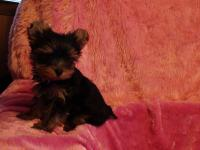 4 AKC registered parti Teacup Yorkie Puppies. Born