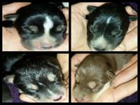 3 black and white female young puppies and one red and