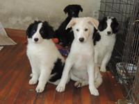 We have up for adoption 4 Collie/Aussie puppies at 10