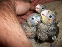 I have 4 Baby Cockatiels for re-homing. They are hand