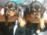 We have a litter of 4 Beautiful Doxle Puppies. Doxle's