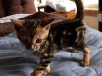 4 Kittens available, all marble markings. Brown Marble