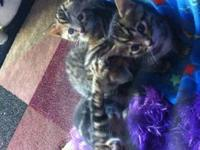 4 Bengal kittens ready for a new forever home. 2 males