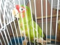 we have 4 parrots for sell 1 is a double yellow head