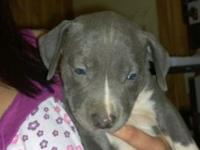 I have 4 female Pit puppies for sale. ALL BLUE WITH
