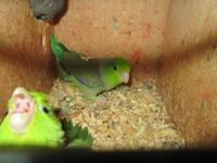 4 breeding pairs of parrotlets for sale.all have babies