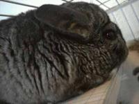 I have 4 Standard grey chinchillas I need to rehome. I