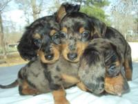 4 Mini Dachshunds for sale, born Christmas Eve