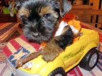 Adorable Limited AKC Yorkshire Terrier Puppies