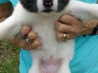 4 female and 1 male purebred Akita young puppies. The