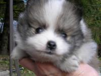 I have 4 female Pomeranian puppies that will be ready