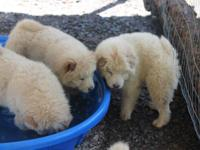 4 Full Blooded Cream Male Chow puppies, 10 weeks old,