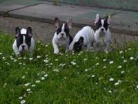 !4 French Bulldog Puppies are seeking for their new