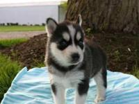 4 gorgeous Siberian husky puppies looking for their new
