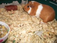 I have 4 guinea pigs for sale. There are 2 males and