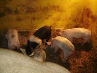 4 pigs.Born 1-2-12.2 gilts-2 barrows.Tails and teeth