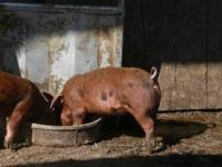 I have 3 very nice Duroc-Berkshire cross pigs for
