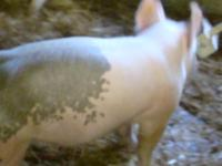 Great pigs, crossbreds for July and August fairs and