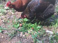 We love our chickens and they are happy, healthy and