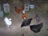 we have some very nice chickens we need to sell. there