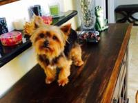 Hello, My name is Buddy, I am a small Yorkie red and