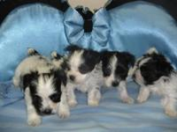 There are 4 Parti Morkies born Dec 24, 2014 they will