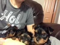 I have 4 male Yorkie puppies for sale. The price is