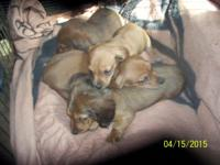 Goodnight Doxie's presents my latest litter.Purebred